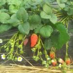 Das ist die wohl größte Erdbeere die ich in meinem Leben sah ;-)
