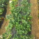 Erdbeeren pflücken im Januar hat was!